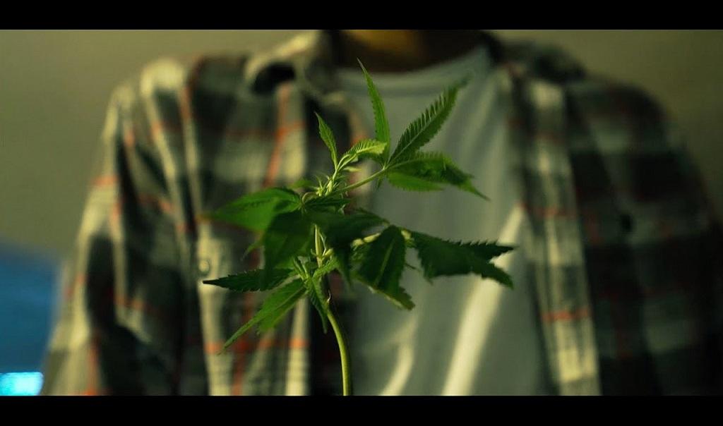 G13 Cannabis Strain