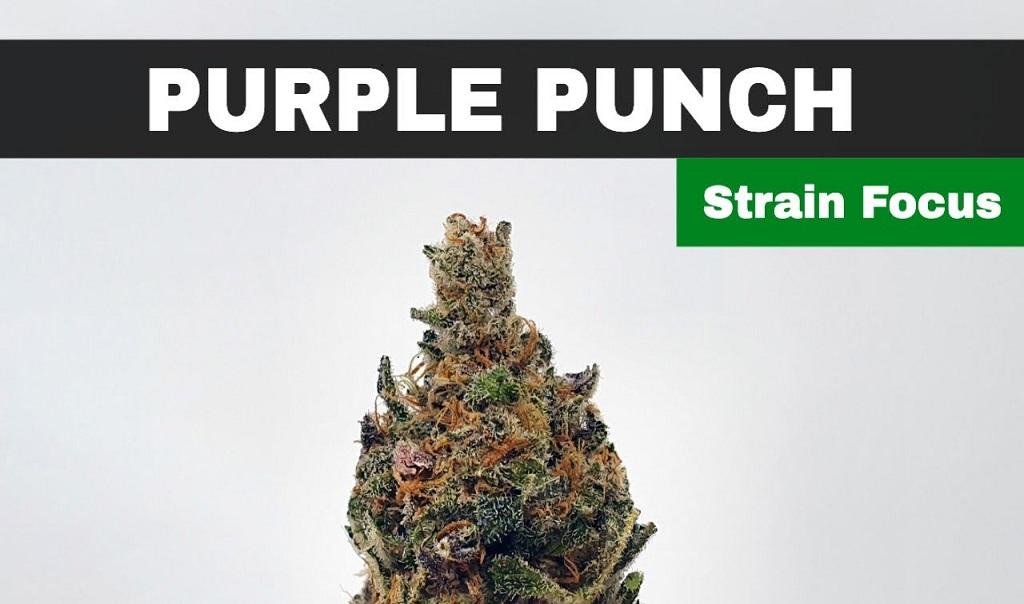 Purple Punch Cannabis Strain history